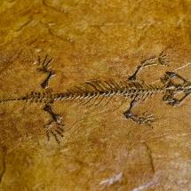 Sara-Fossil